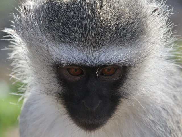 face of blue monkey