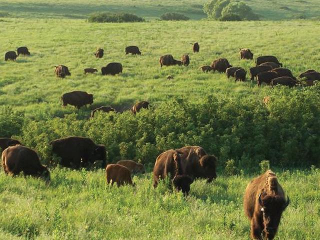 Herd of buffalo in Konza Prairie