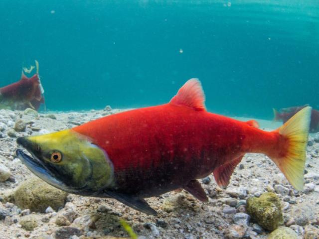 salmon fish swimming in the sea