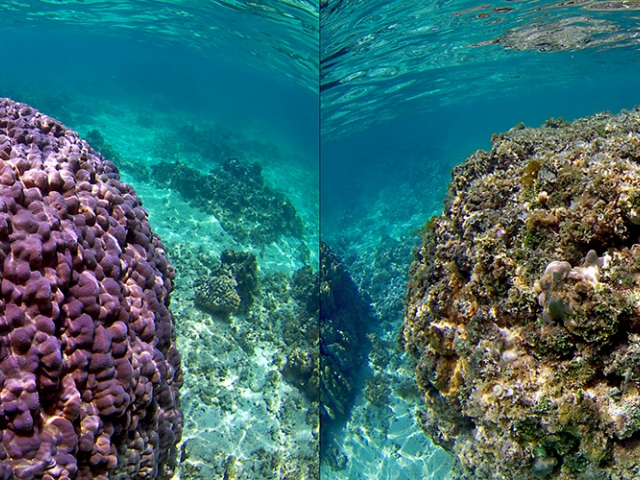 a thriving coral reef and dead coral reef