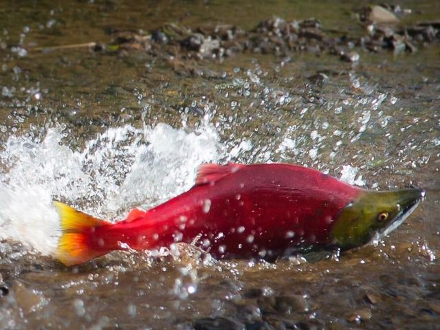 salmon splashing in water