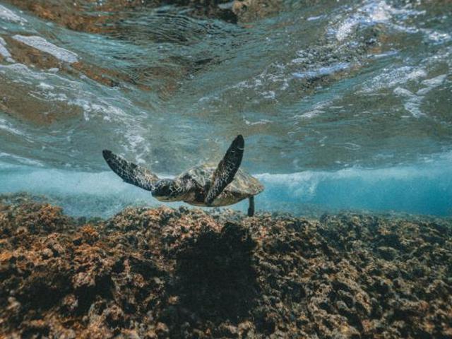 Sea turtle - photo credit Jacob Owens