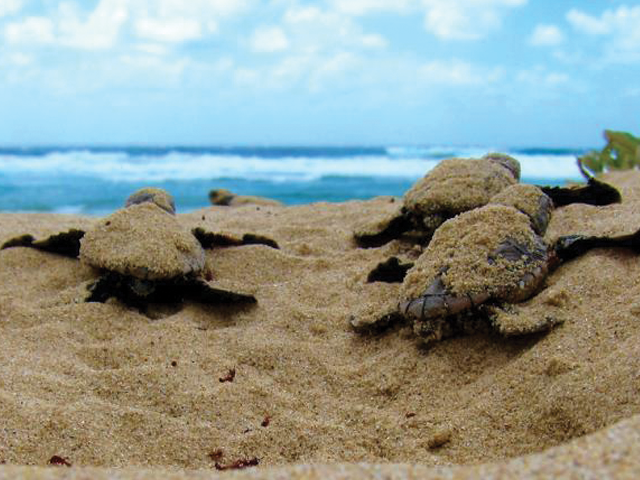 baby turtles emerging from sand