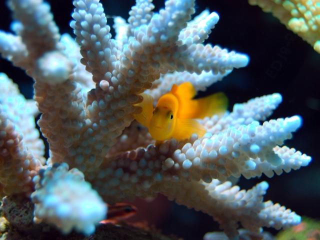 orange fish in coral