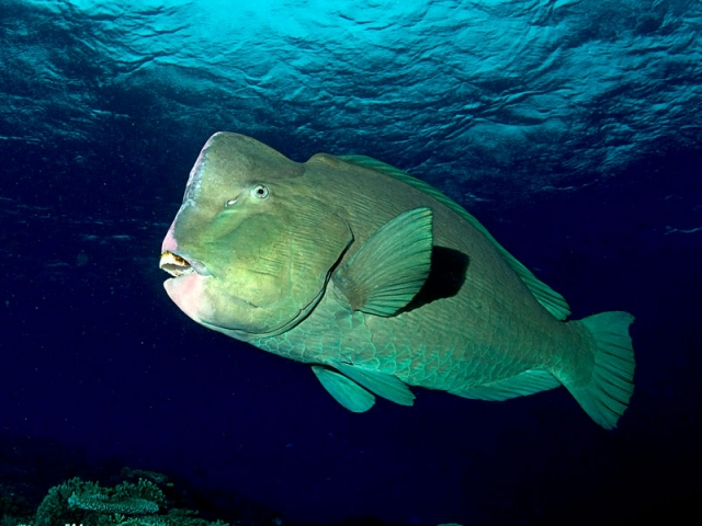 up close of bumphead parrotfish