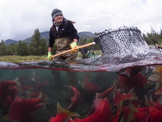 Woman using net to fish for salmon