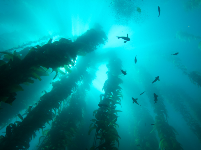 underwater forest of kelp and fish