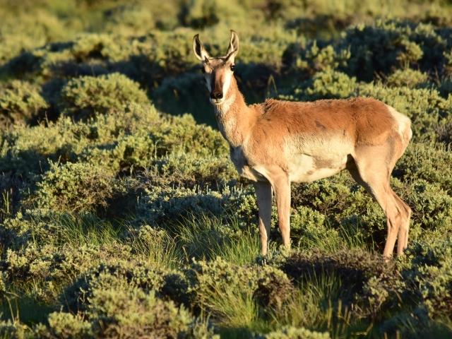 Pronghorn standing in green sage grassland