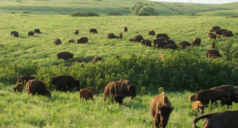 Buffalo roaming on a prairie