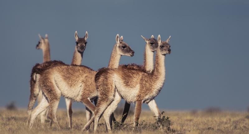 5 alpaca type animals on grasslands