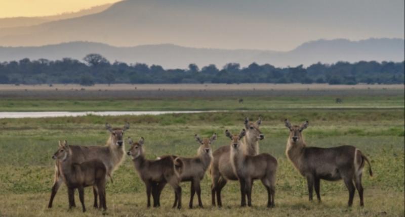 Water Buck in Gorongosa