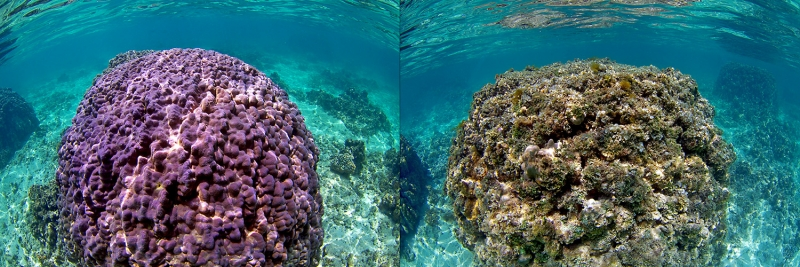 healthy coral reef and dead coral reef