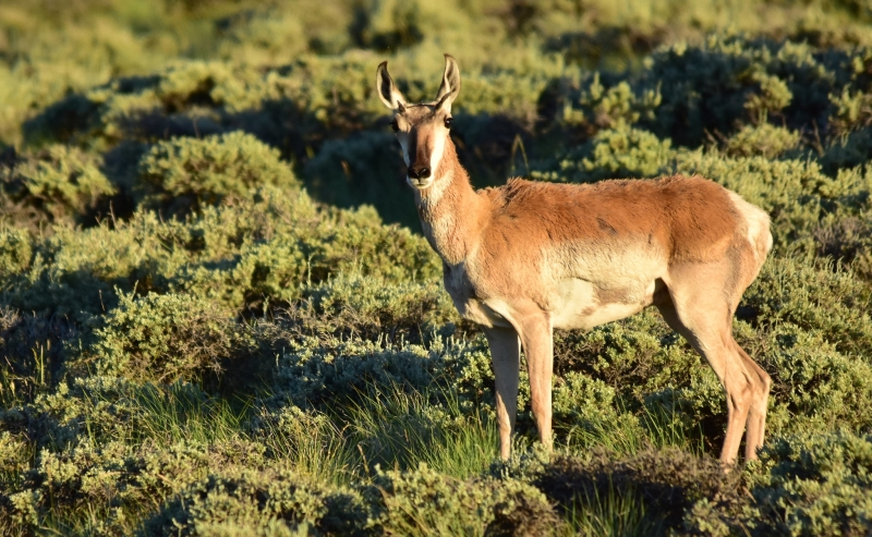 A pronghorn antelope standing in green sage grassland