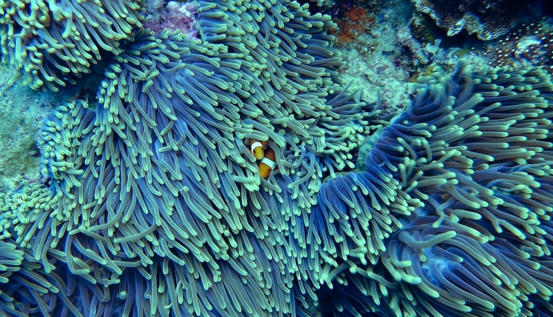 Two orange fish poking their heads out of coral