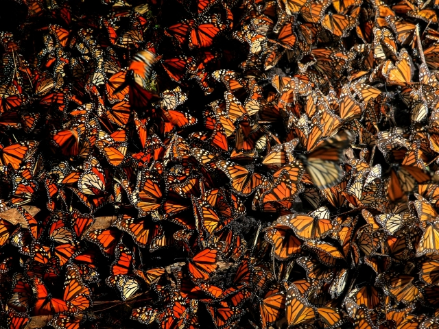 Many monarchs